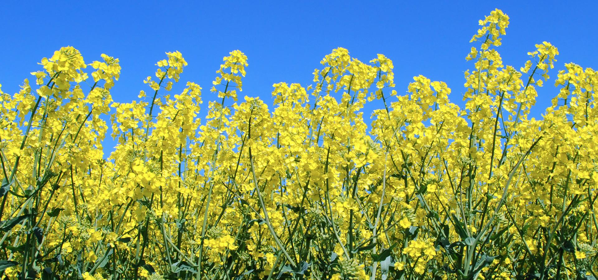 Gele pracht van het platteland